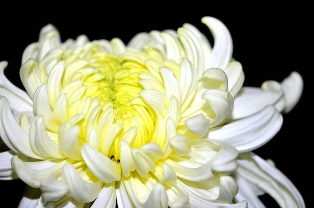 2011 小榄菊花_图1-16