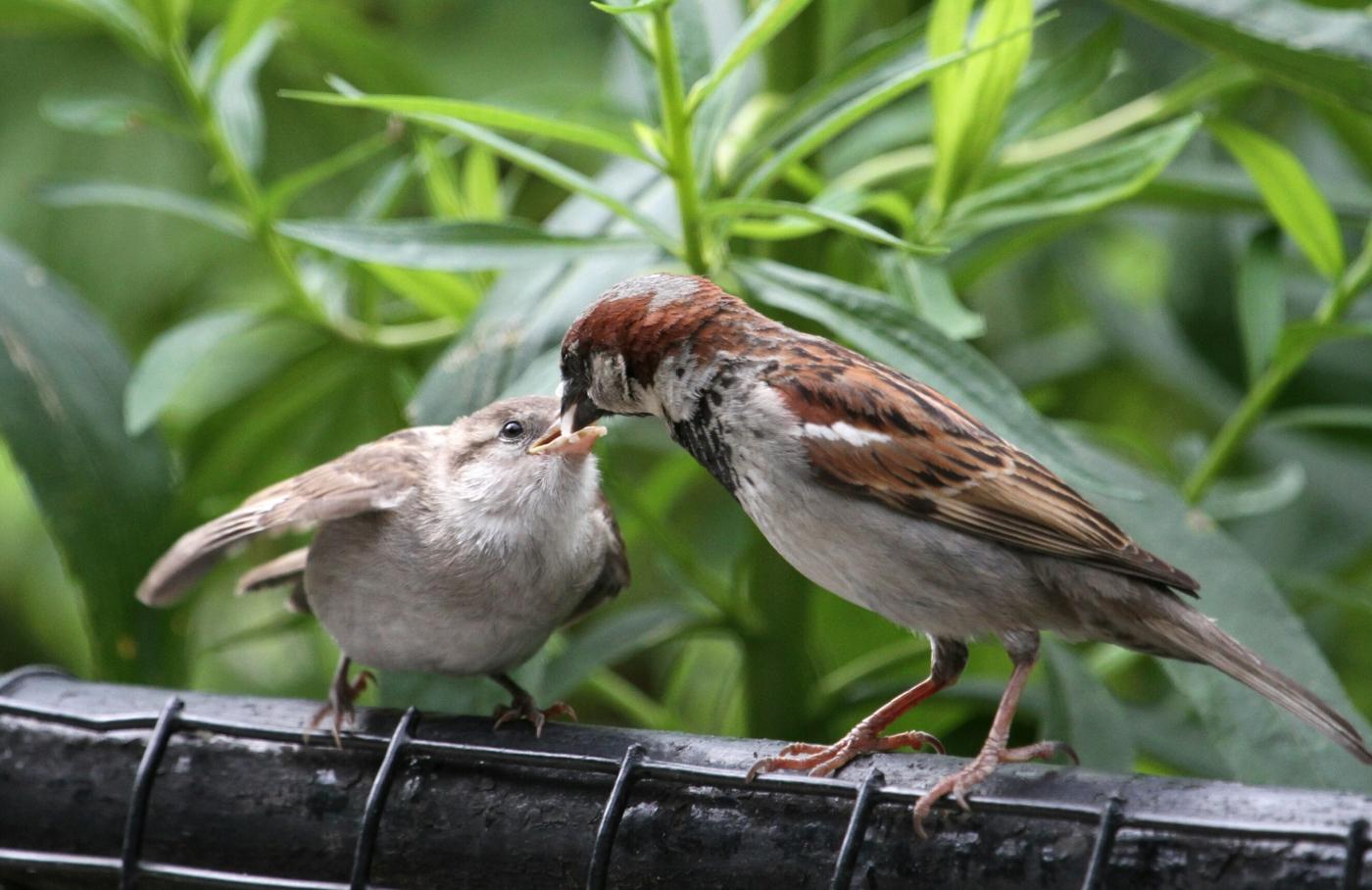 【田螺摄影】在公园拍麻雀喂养_图1-1