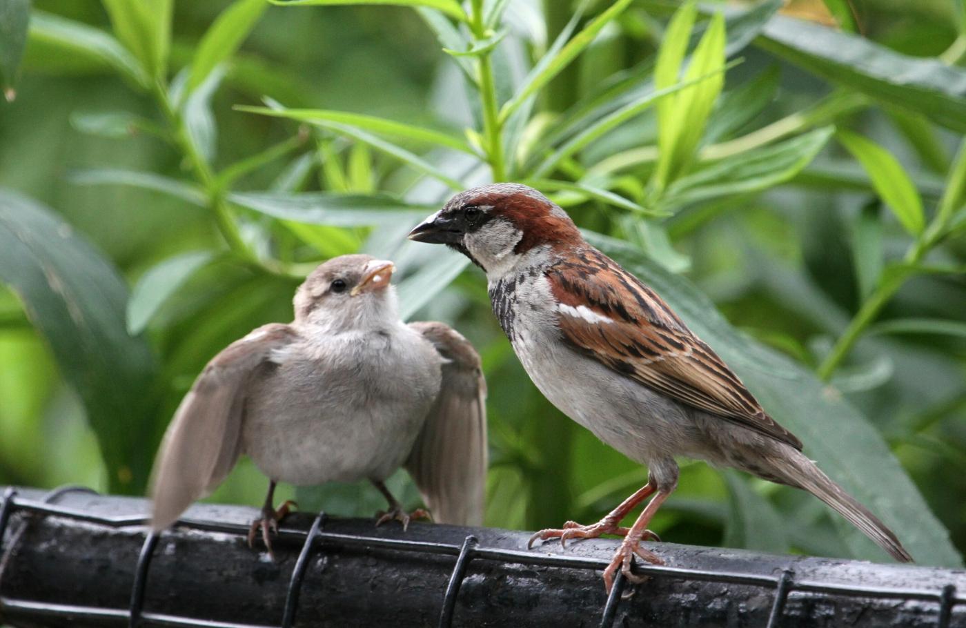 【田螺摄影】在公园拍麻雀喂养_图1-2