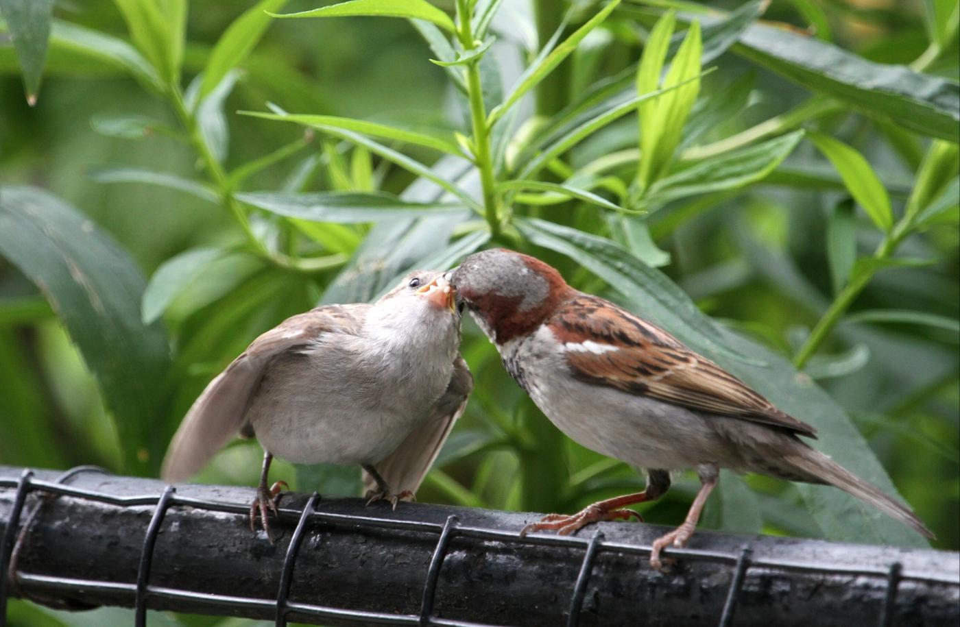 【田螺摄影】在公园拍麻雀喂养_图1-3