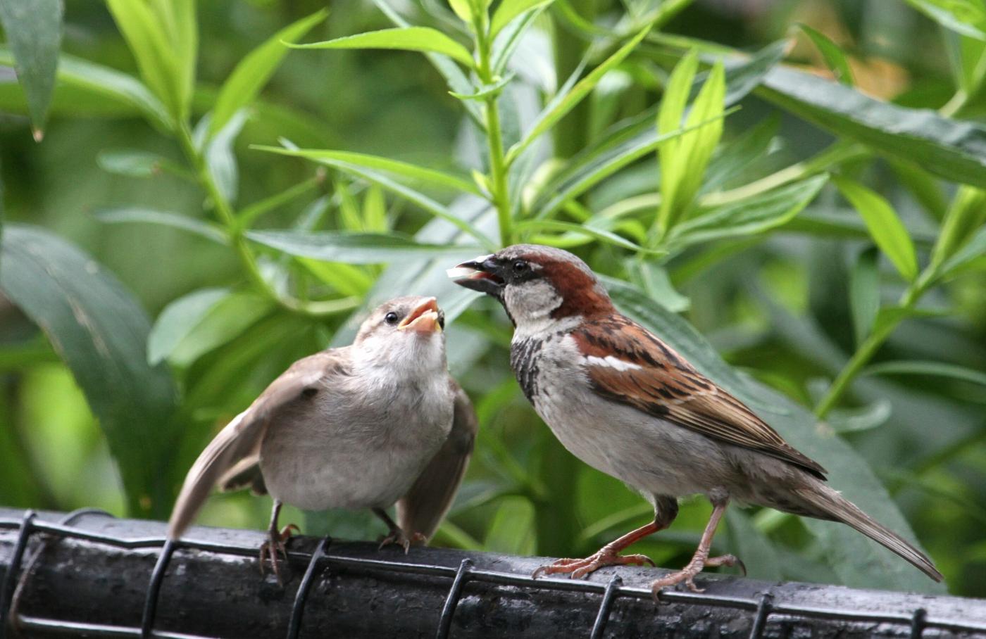 【田螺摄影】在公园拍麻雀喂养_图1-4