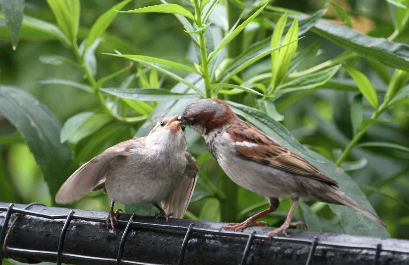 【田螺摄影】在公园拍麻雀喂养_图1-5