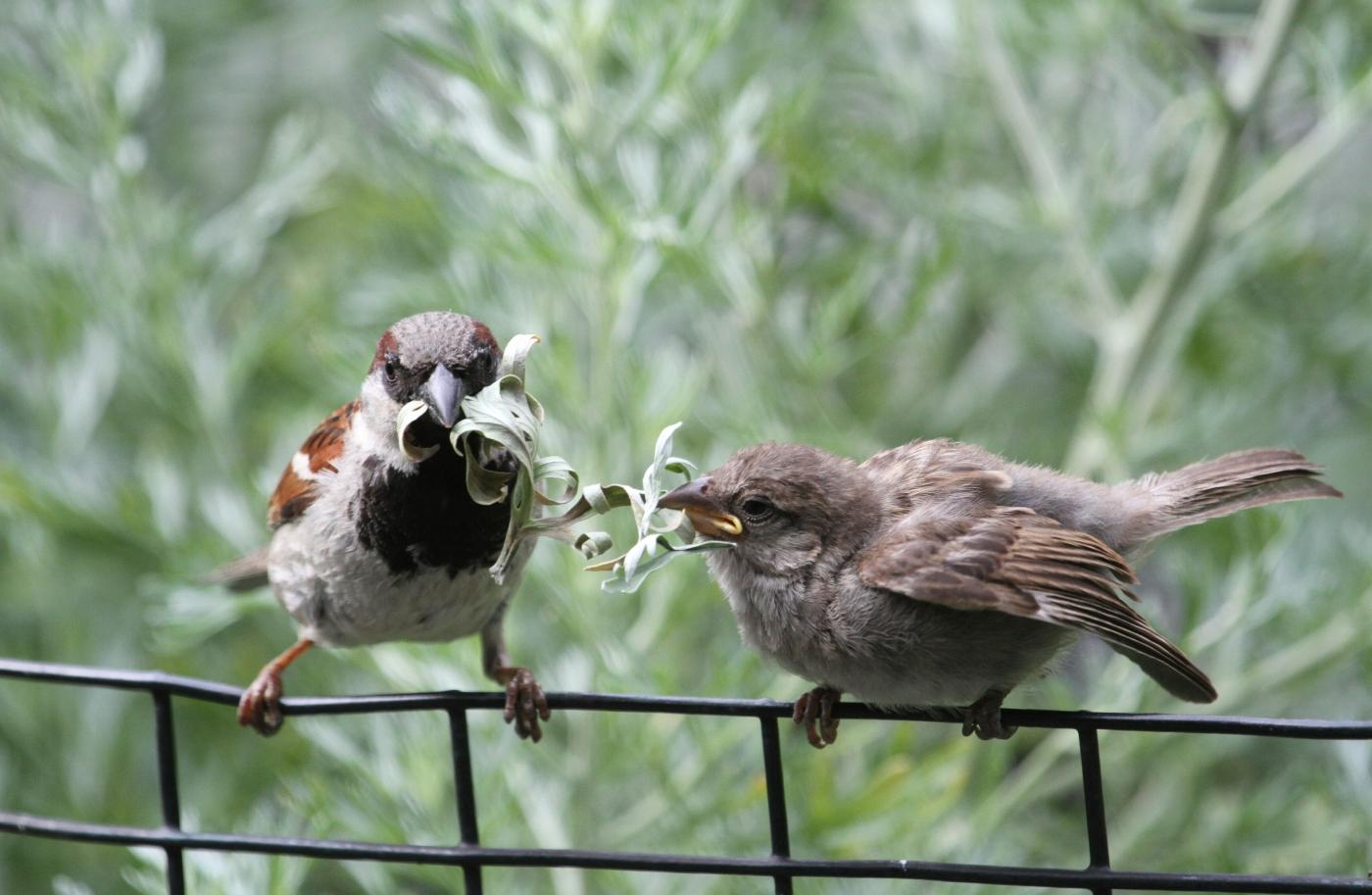 【田螺摄影】在公园拍麻雀喂养_图1-15