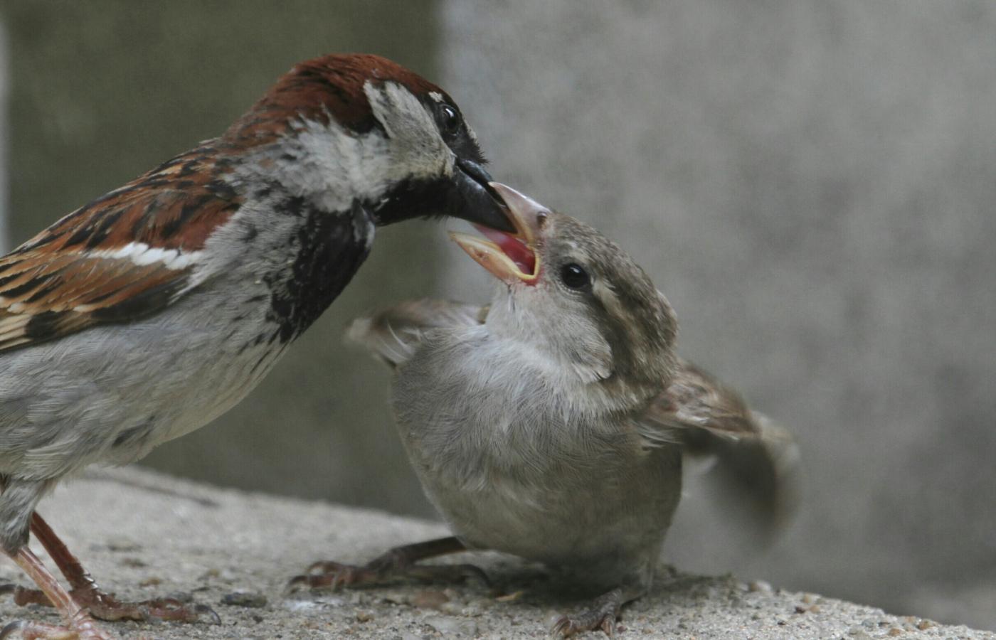【田螺摄影】在公园拍麻雀喂养_图1-17