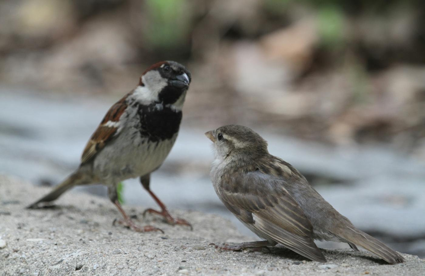 【田螺摄影】在公园拍麻雀喂养_图1-18