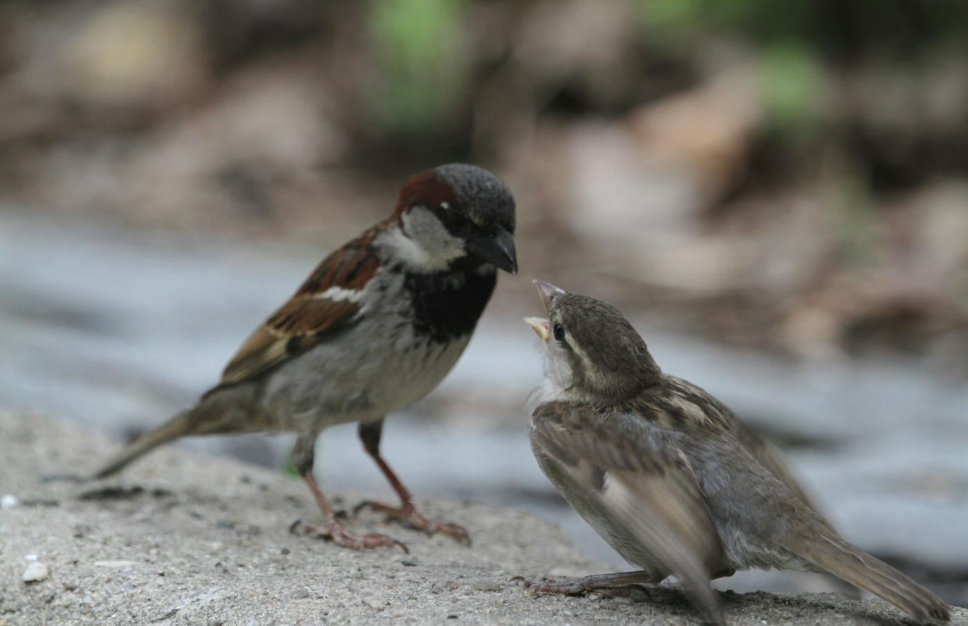 【田螺摄影】在公园拍麻雀喂养_图1-19