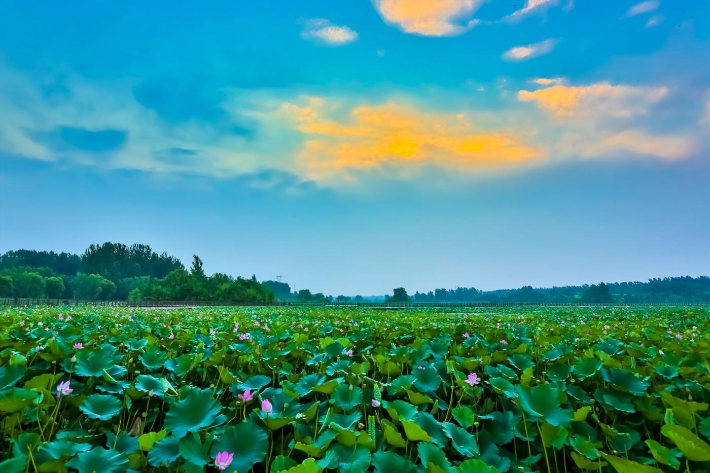 早晨的祥云印照下的临沂黄山武河湿地红荷园_图1-1