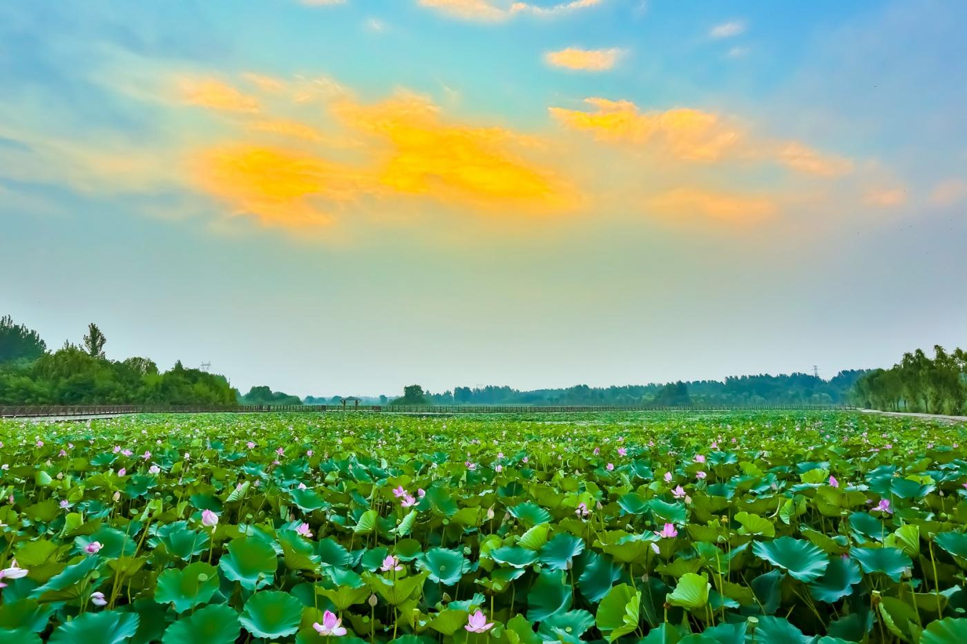 早晨的祥云印照下的临沂黄山武河湿地红荷园_图1-2
