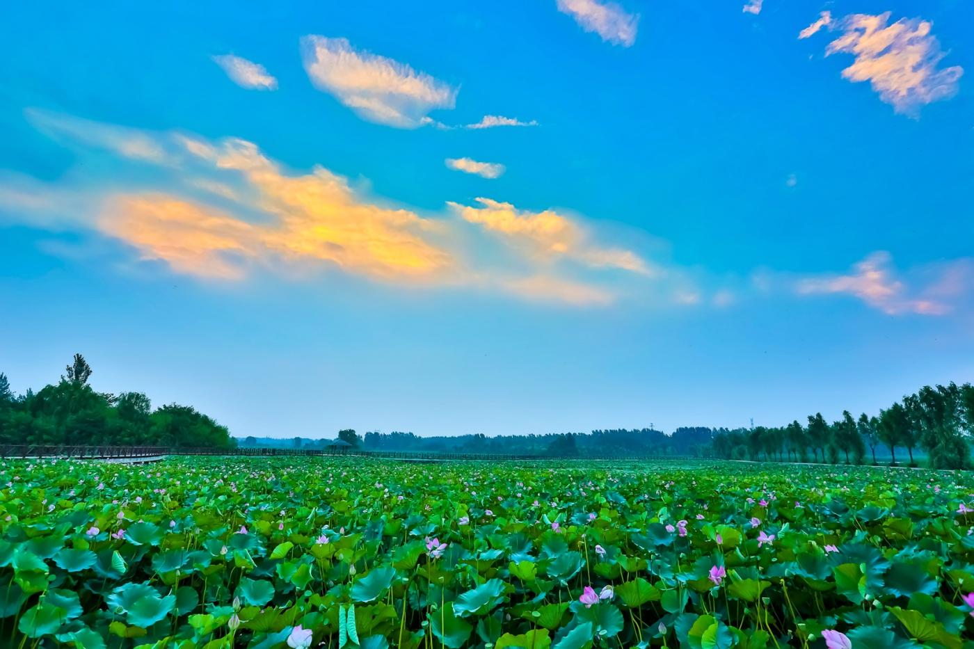 早晨的祥云印照下的临沂黄山武河湿地红荷园_图1-3