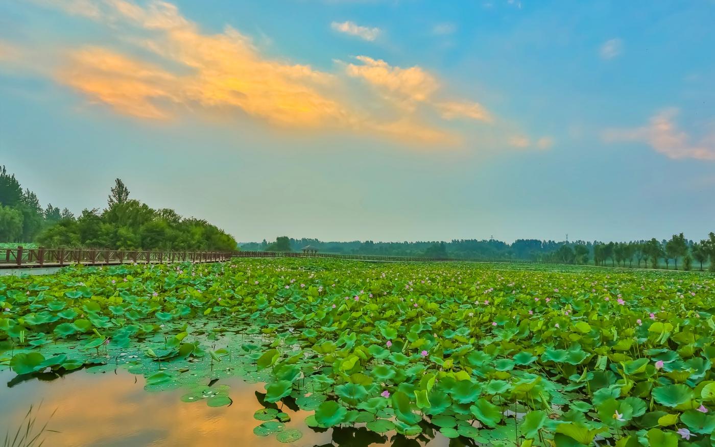 早晨的祥云印照下的临沂黄山武河湿地红荷园_图1-4