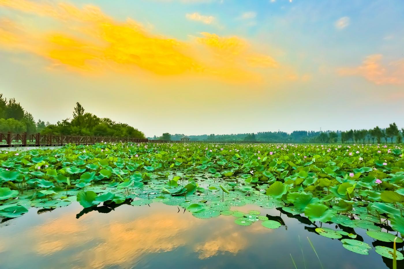 早晨的祥云印照下的临沂黄山武河湿地红荷园_图1-5