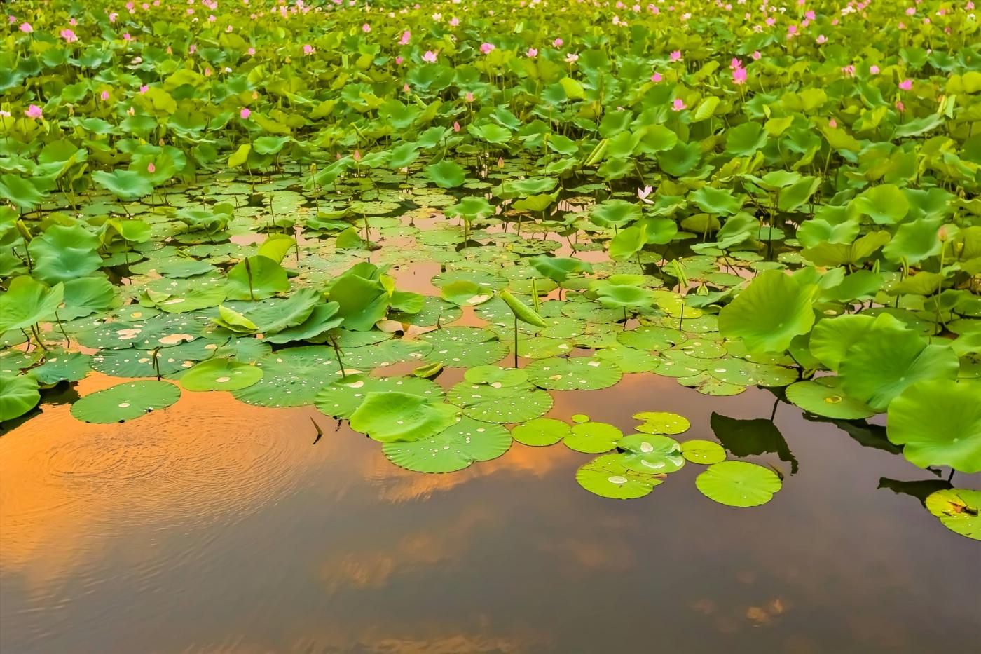 早晨的祥云印照下的临沂黄山武河湿地红荷园_图1-6