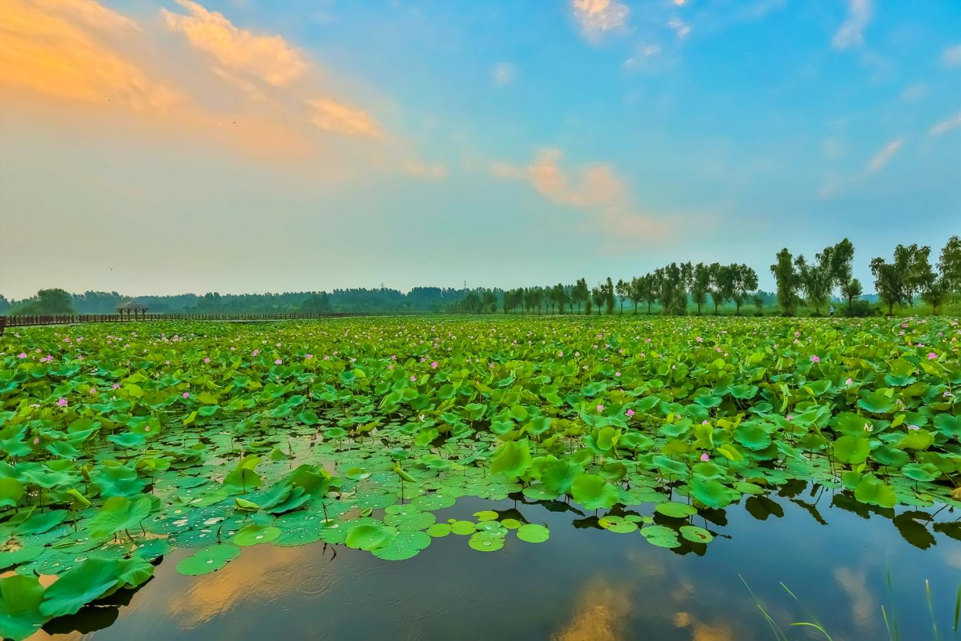 早晨的祥云印照下的临沂黄山武河湿地红荷园_图1-7
