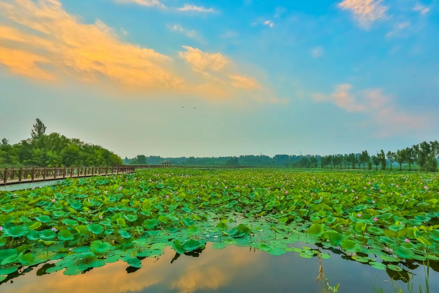 早晨的祥云印照下的临沂黄山武河湿地红荷园_图1-8