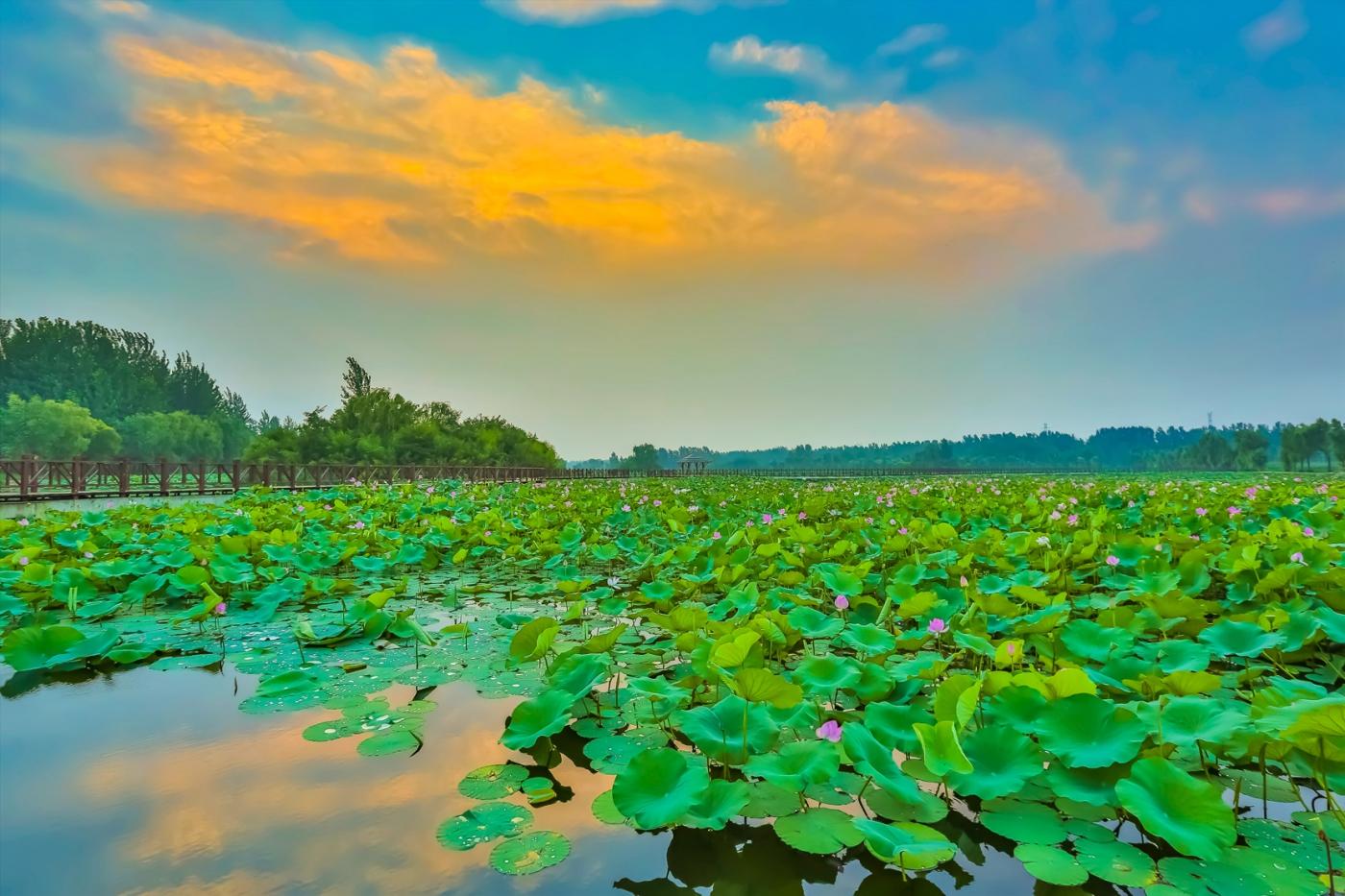 早晨的祥云印照下的临沂黄山武河湿地红荷园_图1-9