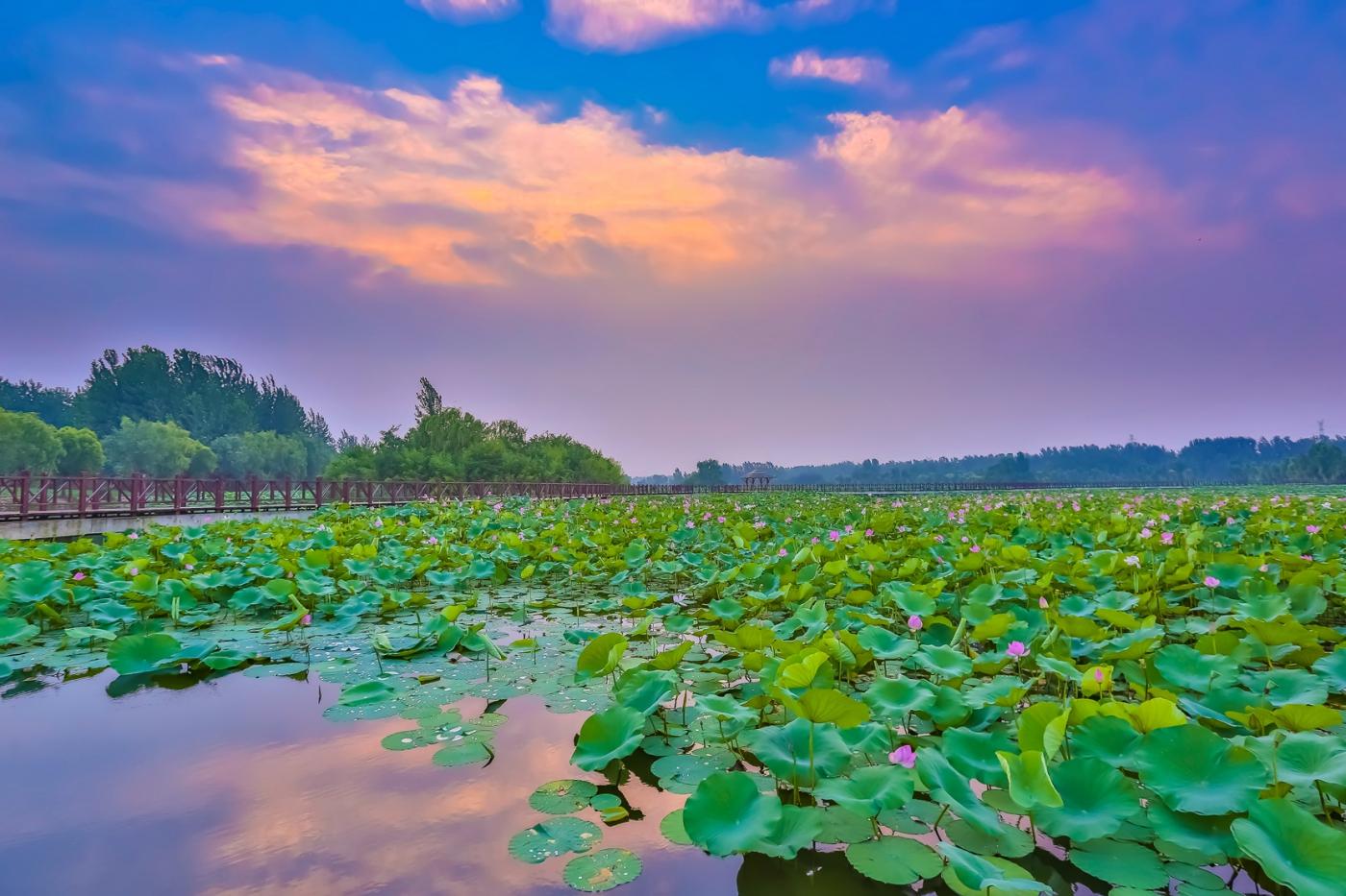 早晨的祥云印照下的临沂黄山武河湿地红荷园_图1-10