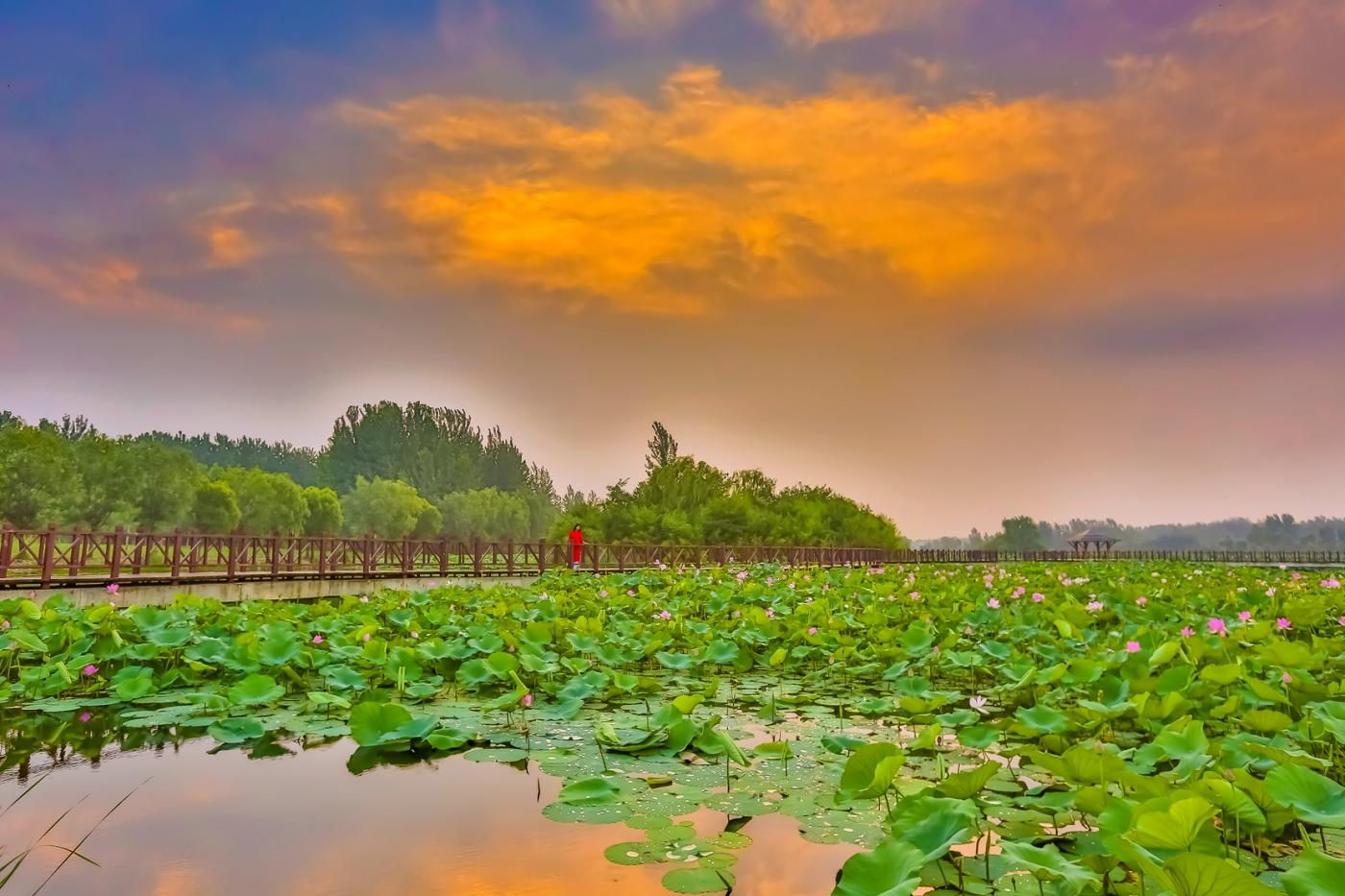 早晨的祥云印照下的临沂黄山武河湿地红荷园_图1-12