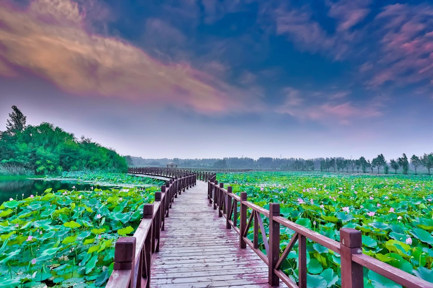 早晨的祥云印照下的临沂黄山武河湿地红荷园_图1-13