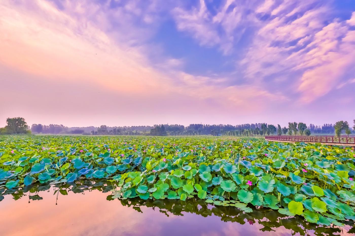 早晨的祥云印照下的临沂黄山武河湿地红荷园_图1-14