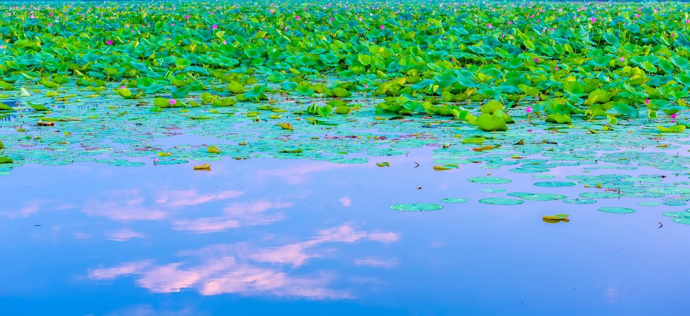 看红荷不必东奔西走 临沂红荷湿地美景如画_图1-10