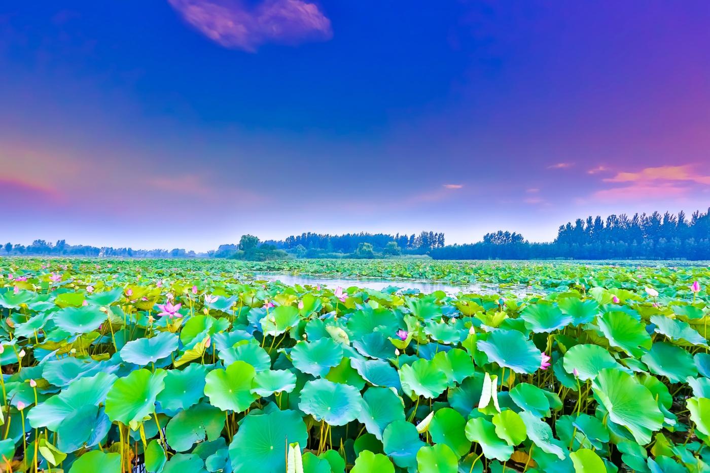 看红荷不必东奔西走 临沂红荷湿地美景如画_图1-12