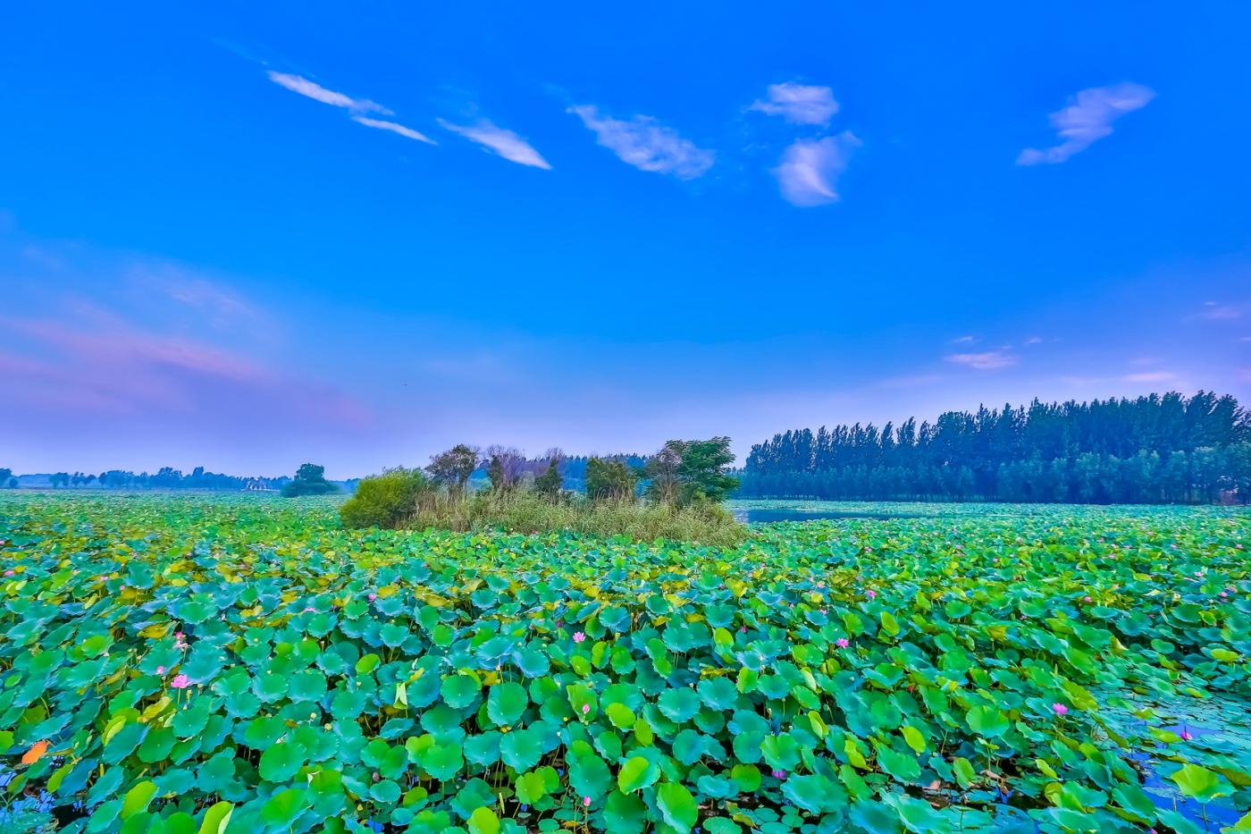 看红荷不必东奔西走 临沂红荷湿地美景如画_图1-14