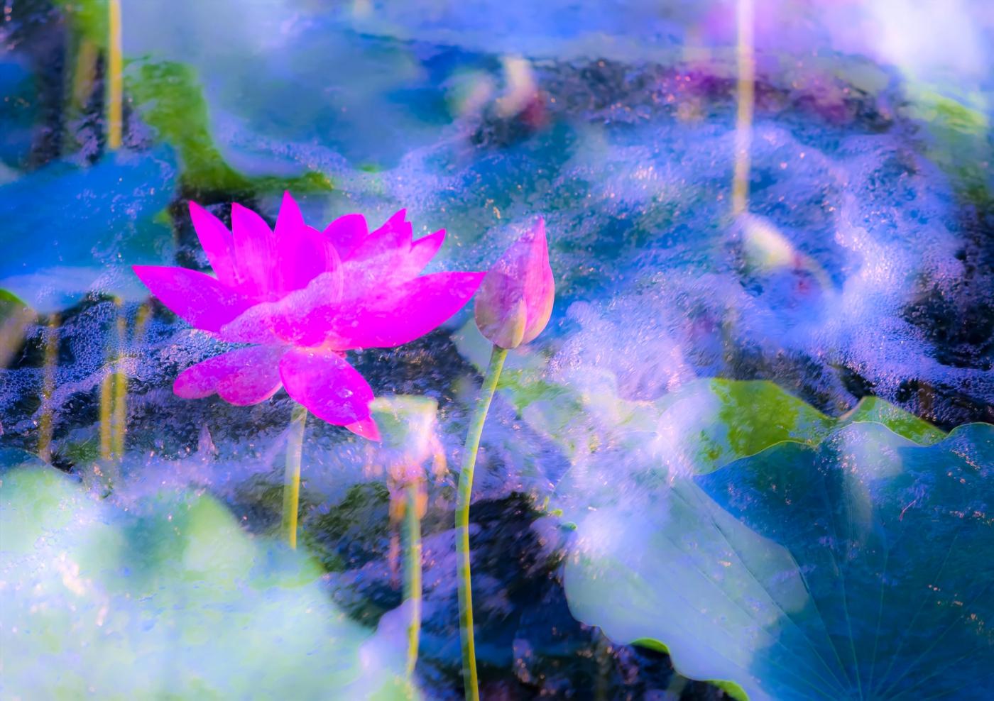 尝试用多重曝光拍摄拍摄湿地红荷_图1-1