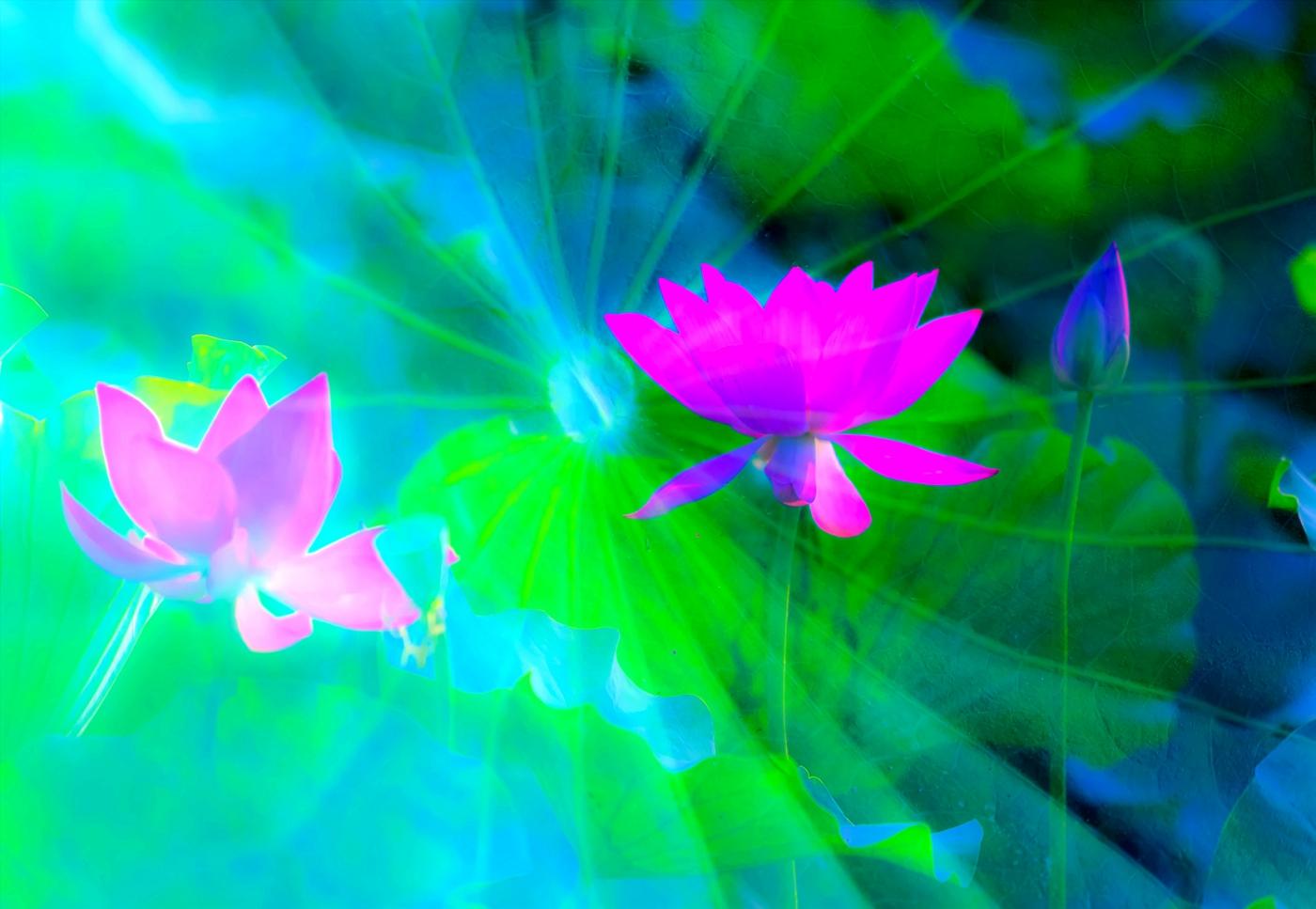 尝试用多重曝光拍摄拍摄湿地红荷_图1-2