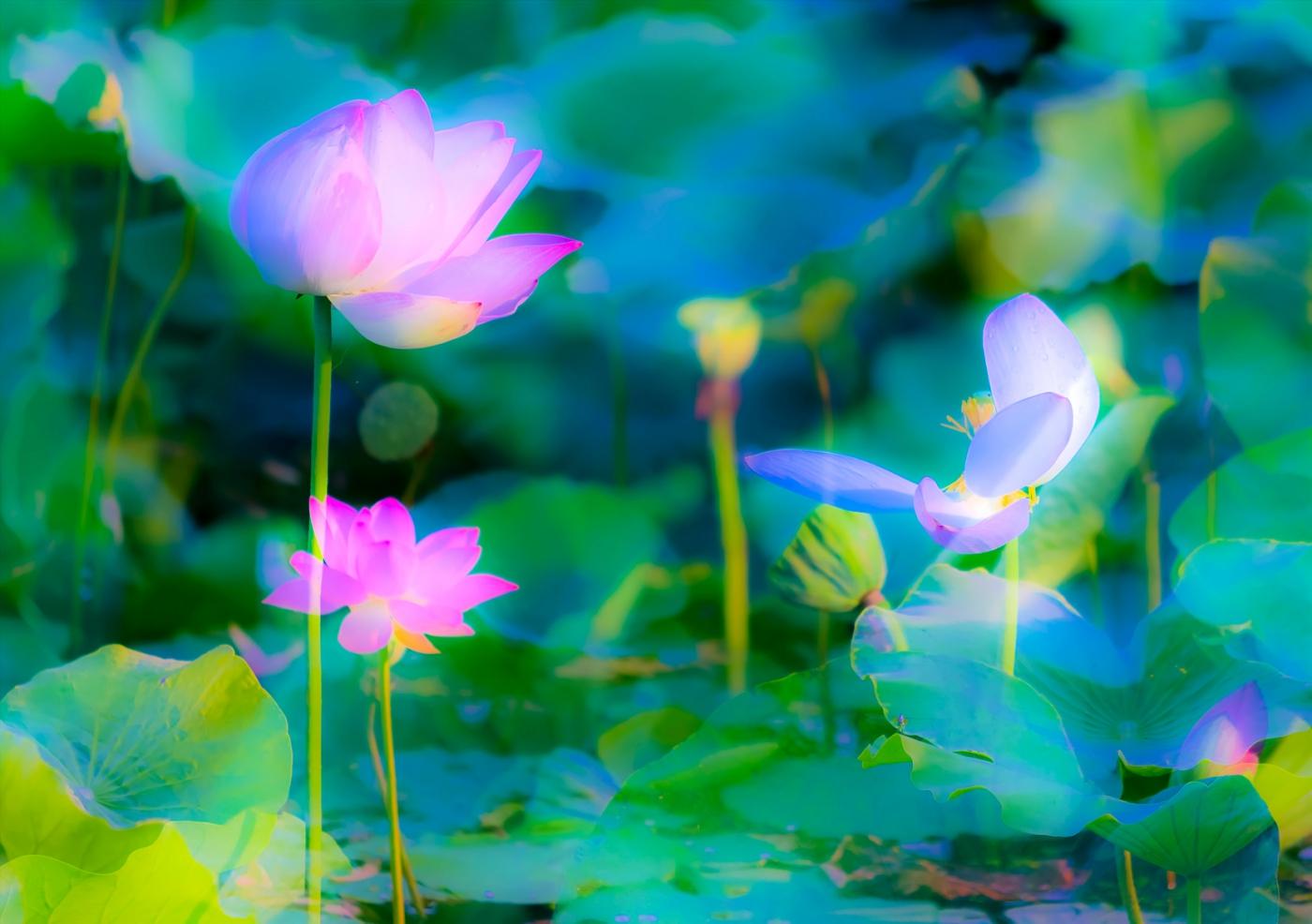 尝试用多重曝光拍摄拍摄湿地红荷_图1-4