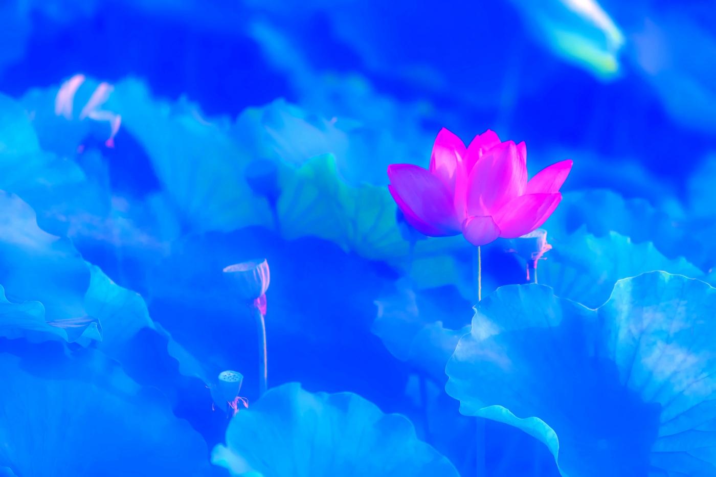 尝试用多重曝光拍摄拍摄湿地红荷_图1-6