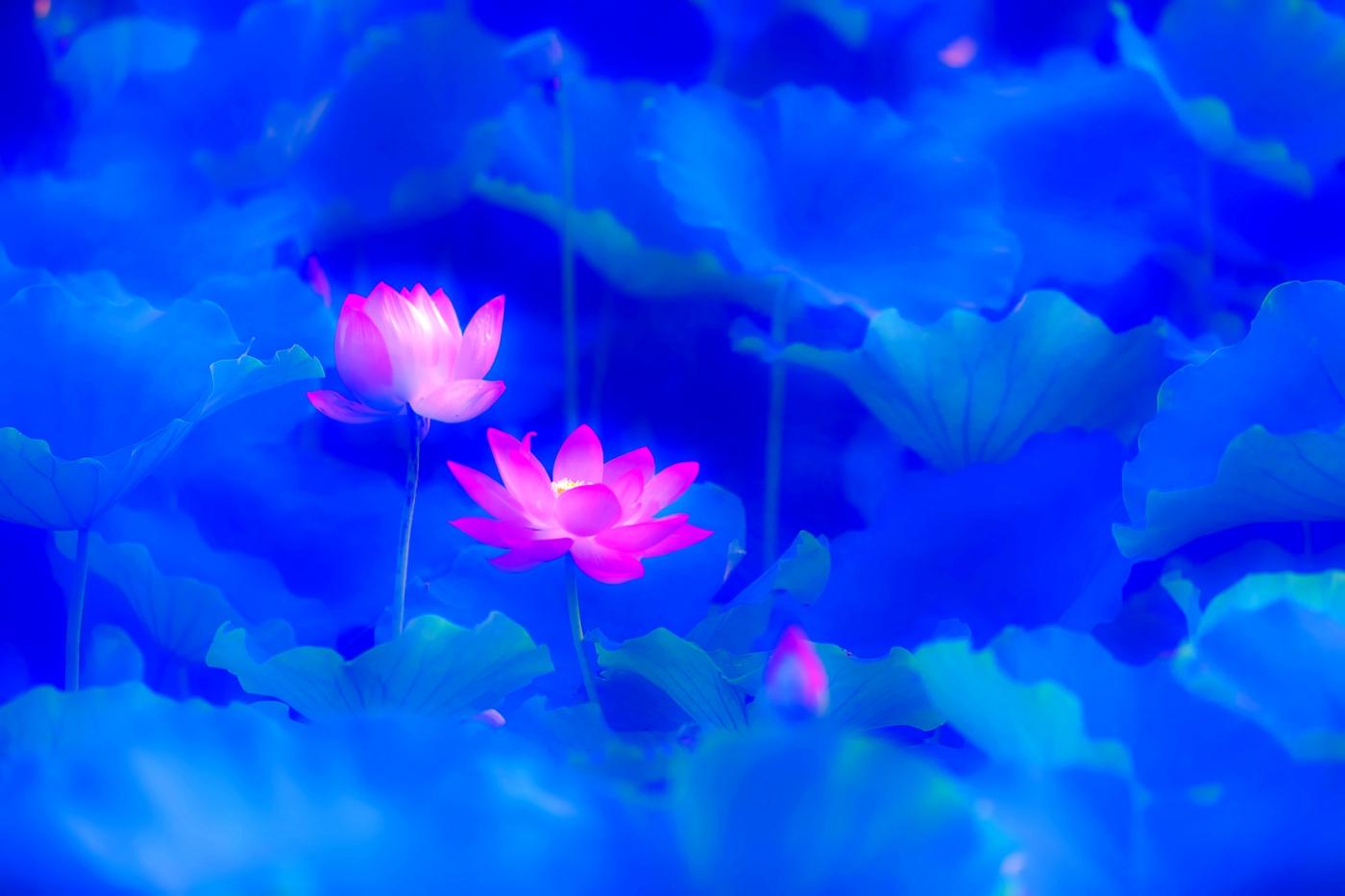 尝试用多重曝光拍摄拍摄湿地红荷_图1-5