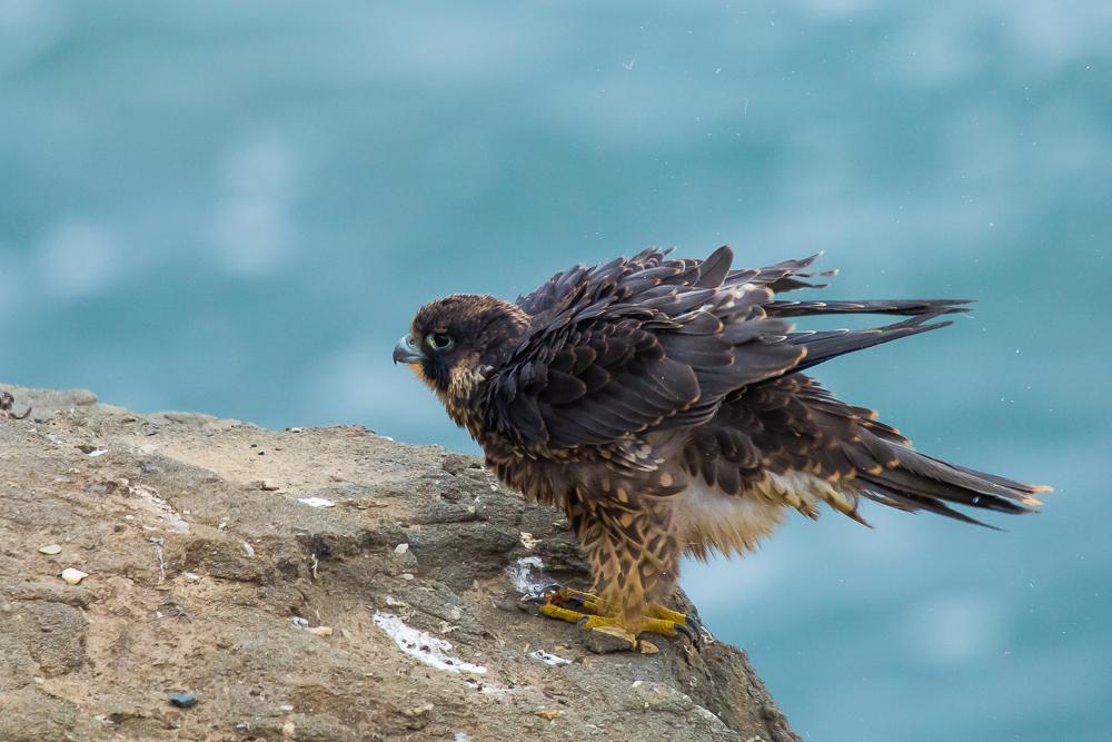 游隼 Peregrine Falcon (一)_图1-1