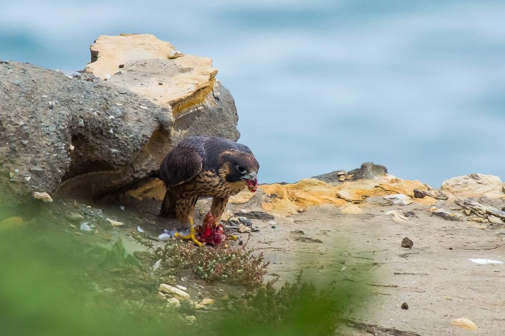 游隼 Peregrine Falcon (一)_图1-2