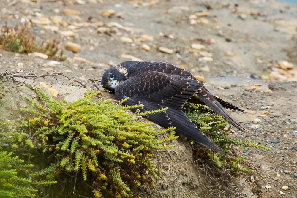 游隼 Peregrine Falcon (一)_图1-3
