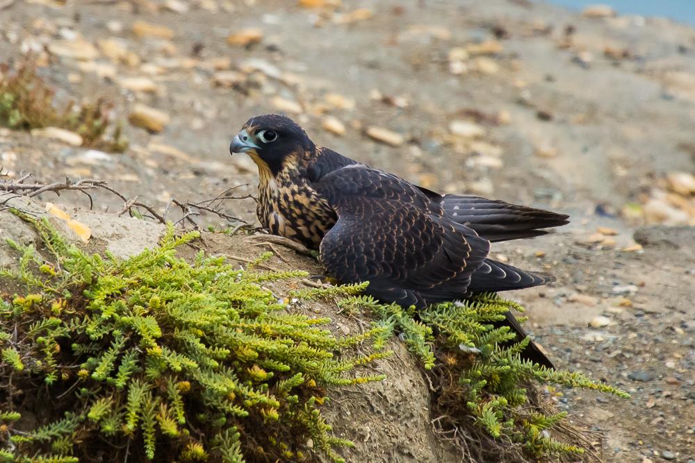 游隼 Peregrine Falcon (一)_图1-4