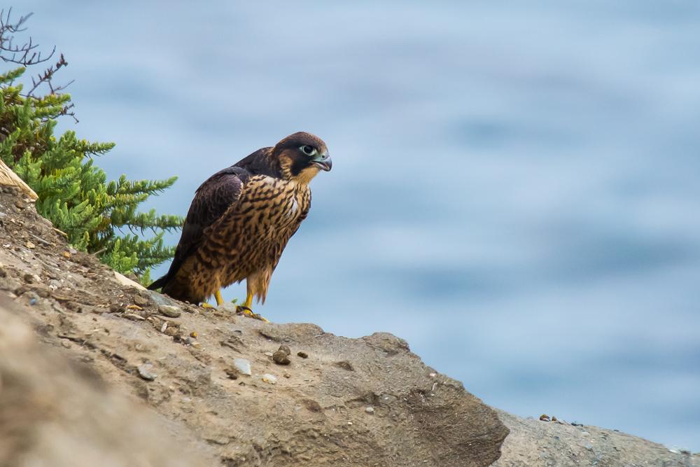 游隼 Peregrine Falcon (一)_图1-6