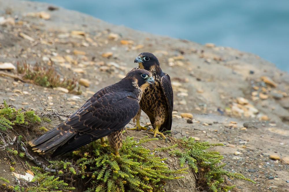 游隼 Peregrine Falcon (一)_图1-7