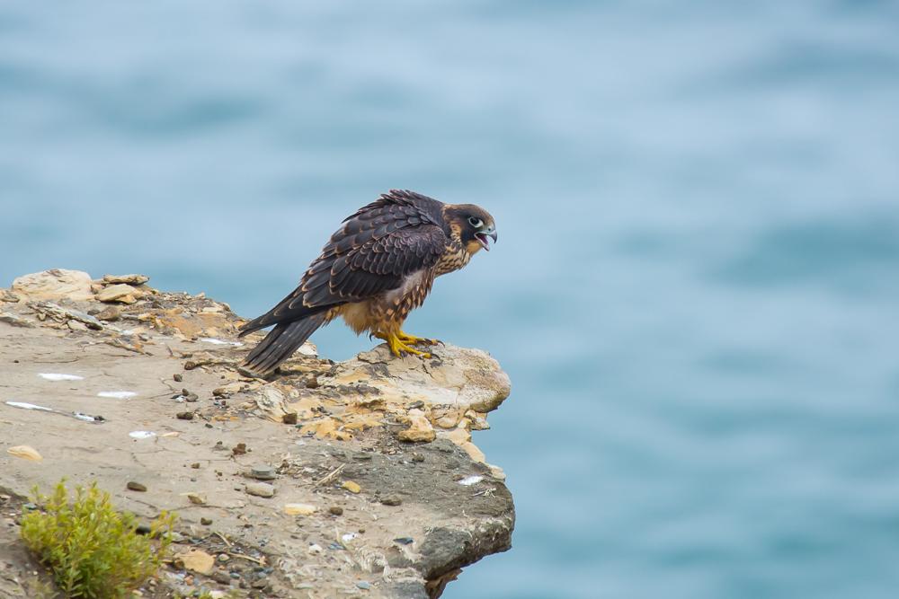 游隼 Peregrine Falcon (一)_图1-8