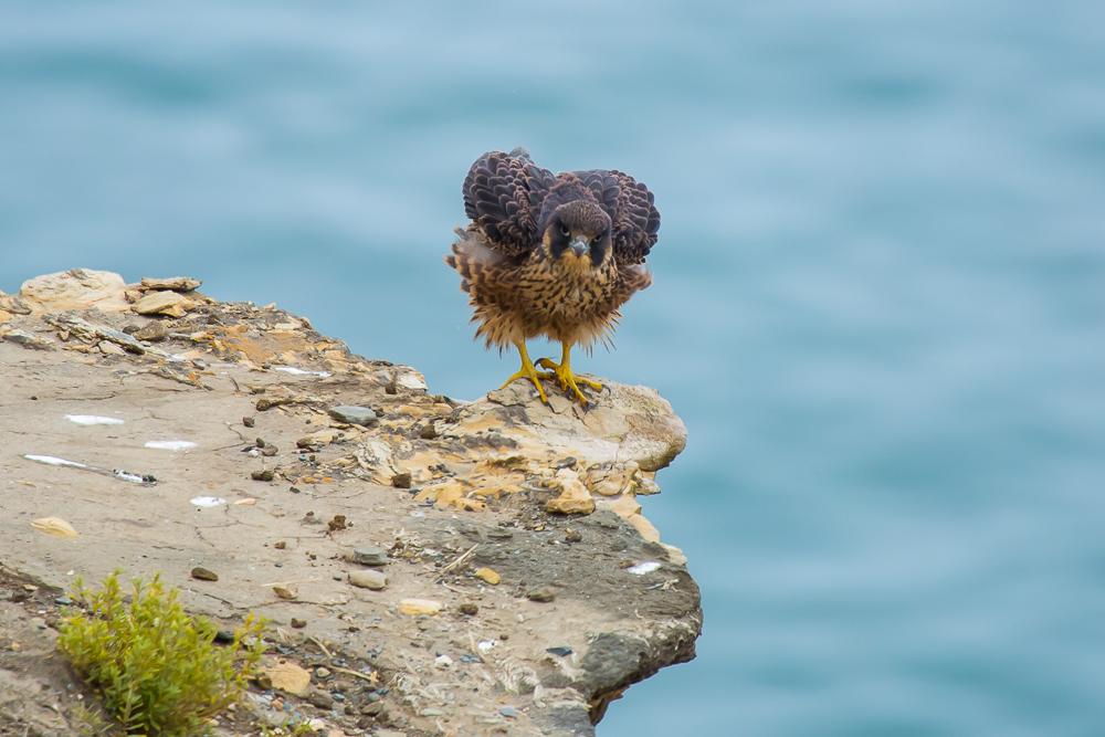 游隼 Peregrine Falcon (一)_图1-9