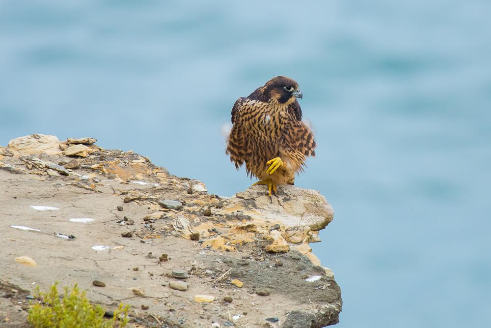 游隼 Peregrine Falcon (一)_图1-10