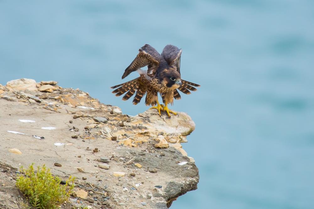 游隼 Peregrine Falcon (一)_图1-11