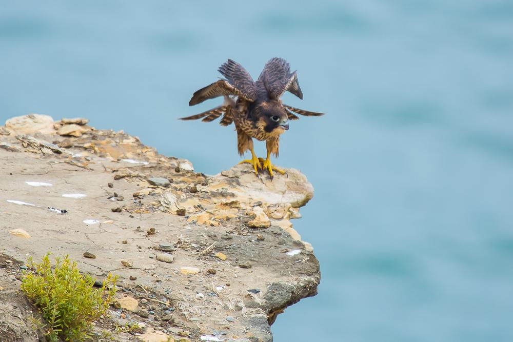 游隼 Peregrine Falcon (一)_图1-12