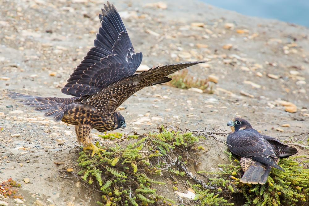 游隼 Peregrine Falcon (一)_图1-13