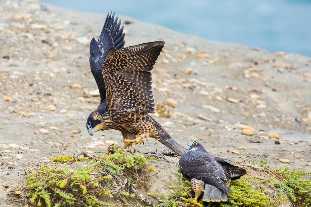 游隼 Peregrine Falcon (一)_图1-14