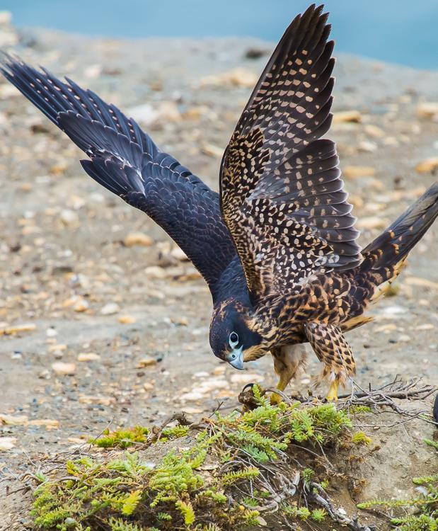 游隼 Peregrine Falcon (一)_图1-15