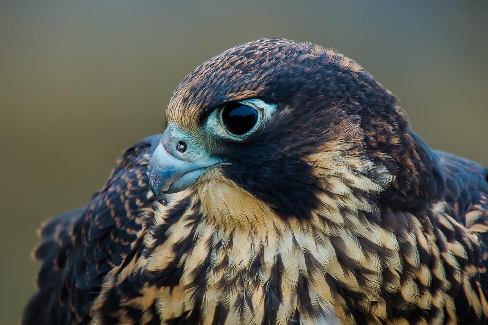 游隼Peregrine Falcon 4_图1-1