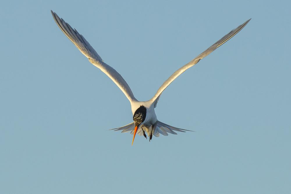 最近,燕鸥比较活跃!_图1-14