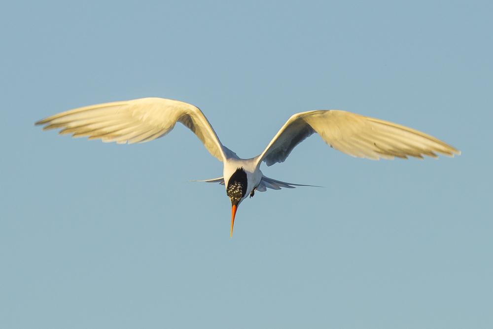 最近,燕鸥比较活跃!_图1-15