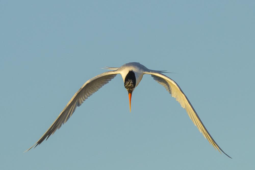 最近,燕鸥比较活跃!_图1-16