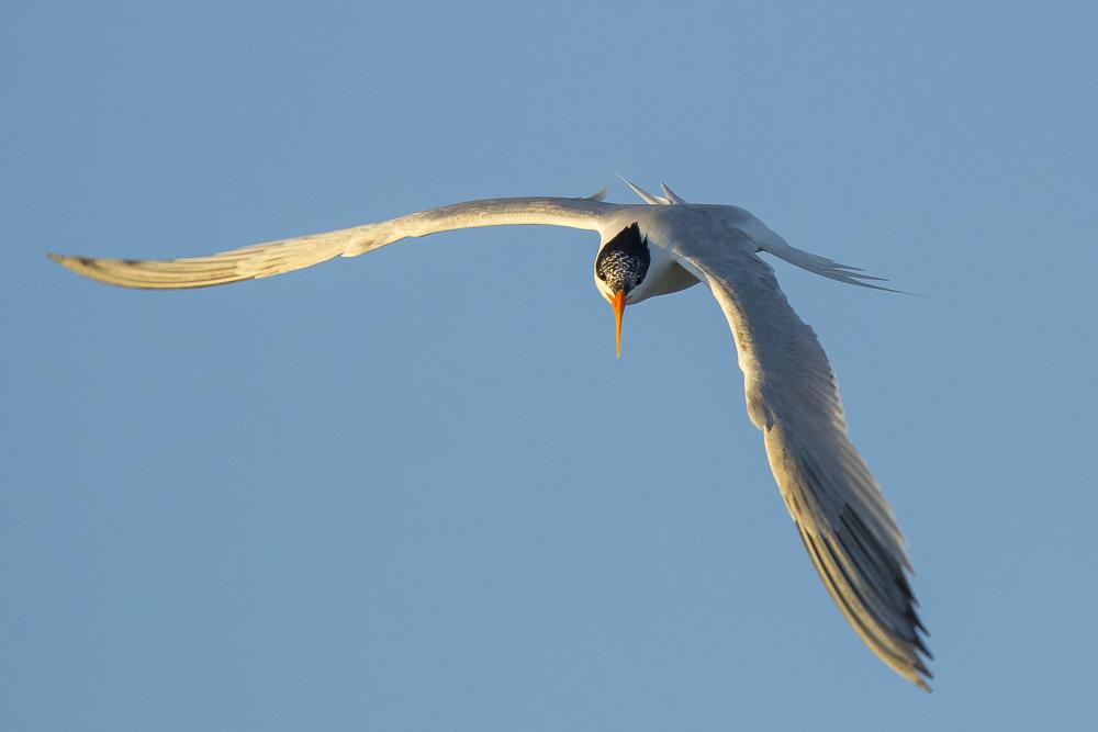 最近,燕鸥比较活跃!_图1-17